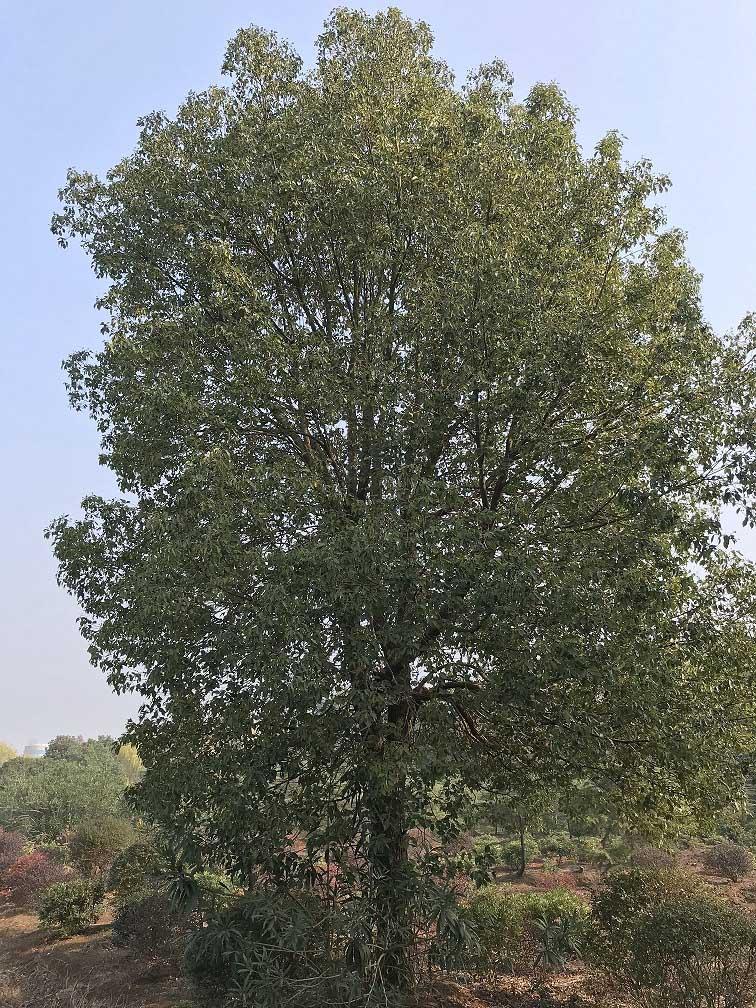 樟树01.jpg