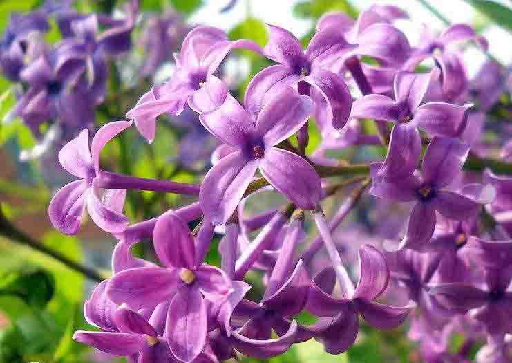 紫丁�?.jpg